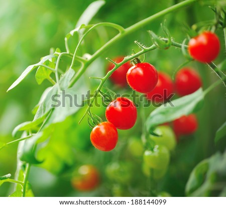 Close up of fresh red tomatoes still on tree plant - stock photo