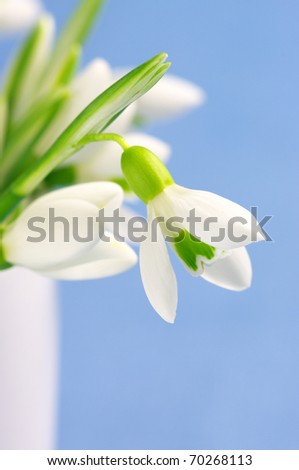 Close-up of fresh snowdrops in white vase on blue background. - stock photo