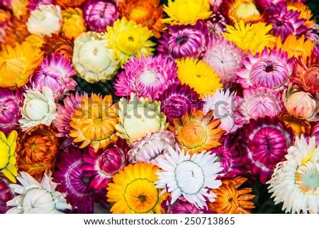 Close Up of Fresh Straw Flower, Thailand. - stock photo