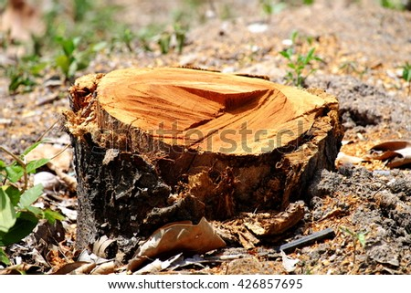 Close up of fresh stumps of invasive forest. - stock photo