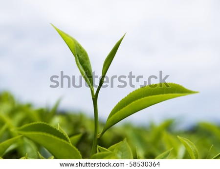 close up of fresh tea leaves - stock photo