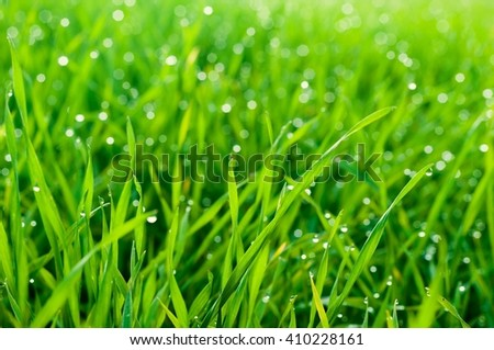 Close up of fresh thick grass with dew drops in the early morning as natural background. Selective focus. Shallow DOF - stock photo