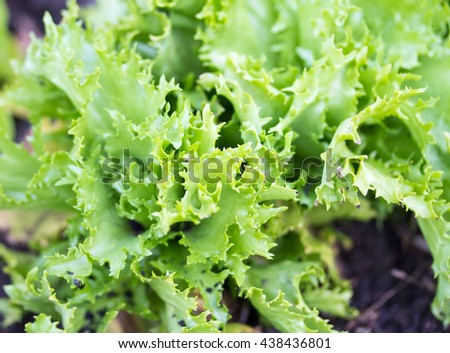 Close up of Frillice iceberg lettuce in garden or allotment
