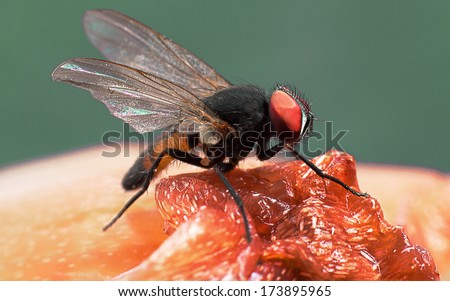 Close-up of fruit fly - stock photo