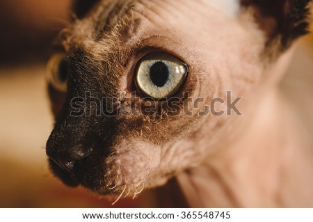 close up of Funny hairless sphynx or sphinx baby cat kitten  - stock photo