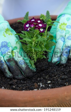 Close up of gardener's gloved hands planting a Verbena flower in the garden clay container