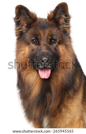 Close-up of German shepherd dog isolated on white background - stock photo