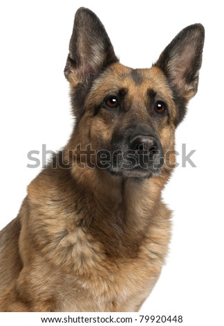 Close-up of German Shepherd Dog, 10 years old, in front of white background - stock photo