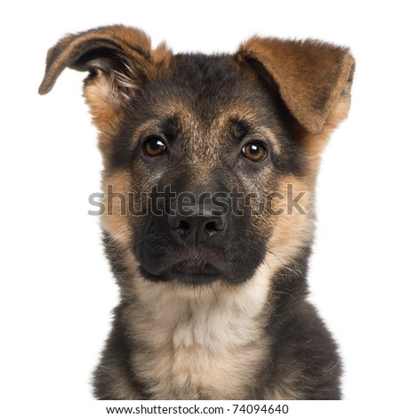 Close-up of German Shepherd puppy, 3 months old, in front of white background - stock photo