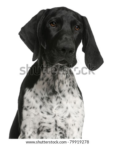 Close-up of German Shorthaired Pointer puppy, 4 months old, in front of white background - stock photo