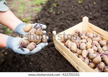 Close-up of germinating potatoes in the woman farmer hands on natural background - stock photo