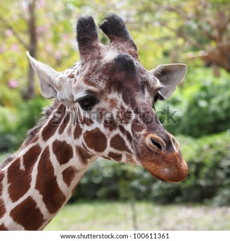 close up of giraffe face - stock photo