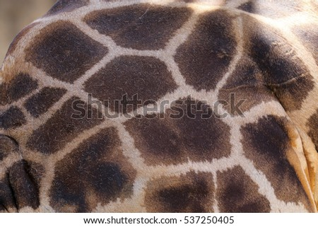 Close up of giraffe fur showing the pattern clearly