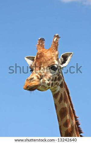 Close up of Giraffe's head - stock photo