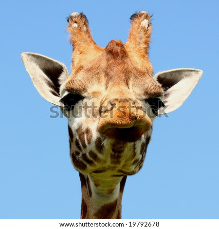 Close up of Giraffe's head