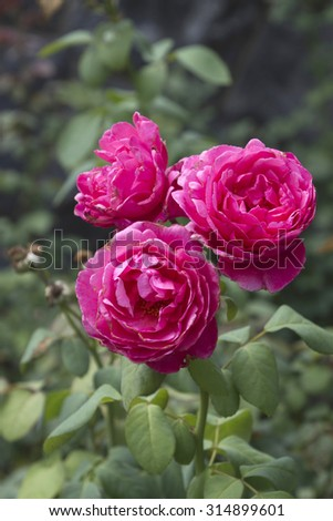 Close up of gloriously colorful, delicate pink roses in full bloom in a summer garden - stock photo