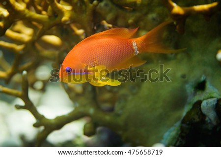 Close-up of gold fish swimming through coral network. Selective focus