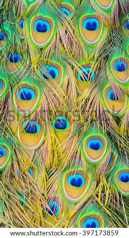 Close up of Gold Peacock feather patern background - stock photo