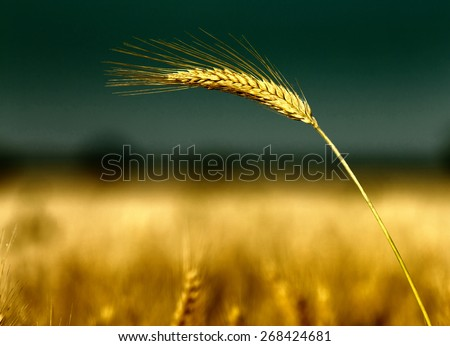 Close up of golden barley ear in summertime - stock photo