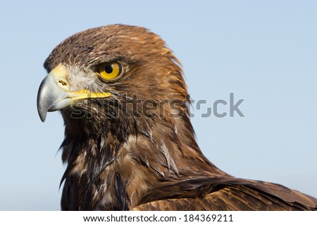 Close up of golden eagle - stock photo