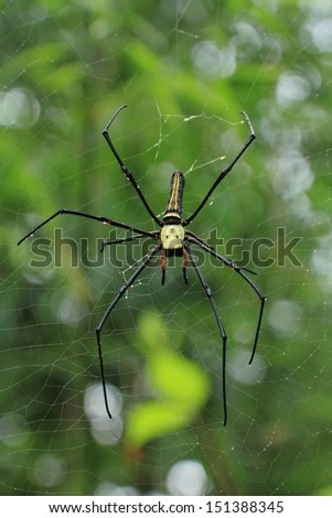 Close up of golden orb-weaver or giant wood spider or banana spider - stock photo