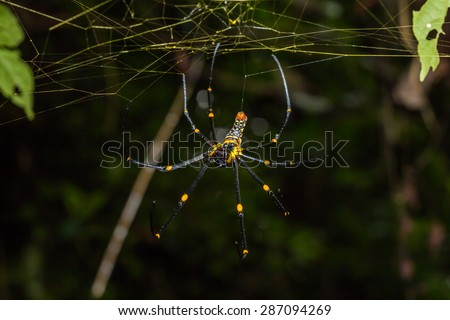 Close up of golden orb weaver or giant wood spider or banana spider (Nephila pilipes) on its web in nature, ventral view - stock photo