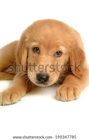 Close up of Golden Retriever puppy lying on white background