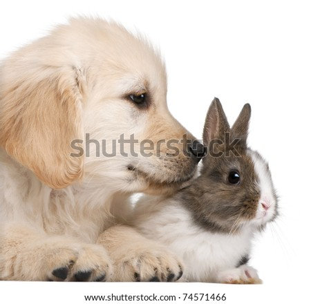 Close-up of Golden Retriever puppy, 20 weeks old, and a rabbit in front of white background - stock photo