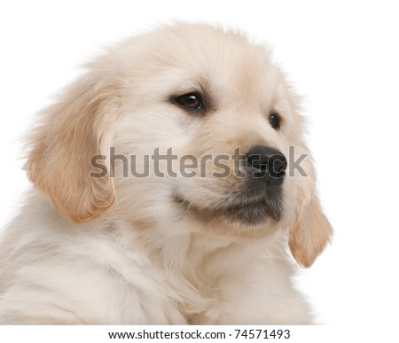 Close-up of Golden Retriever puppy, 20 weeks old, in front of white background - stock photo