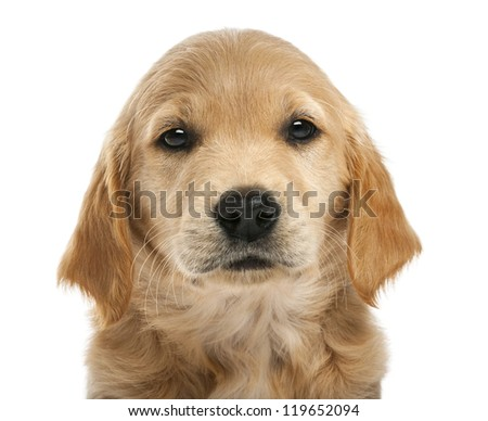 Close-up of Golden retriever puppy, 7 weeks old, looking at camera against white background