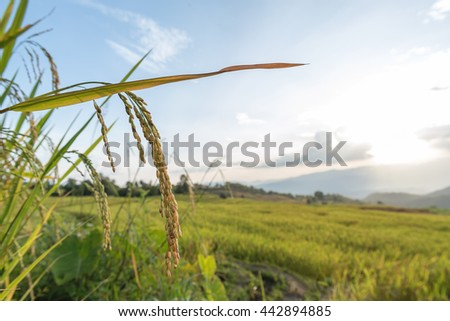Close up of golden spike rice in Rice fields at Ban Pa Bong Piang,Mae Cham, Chiang Mai