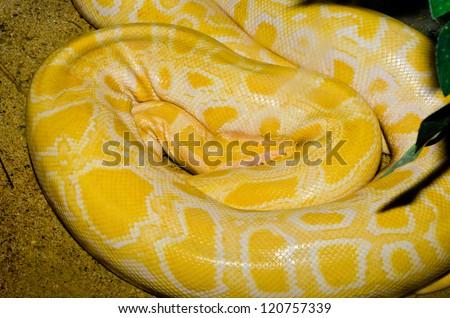 Close up of Golden Thai Python snake, Thailand. - stock photo