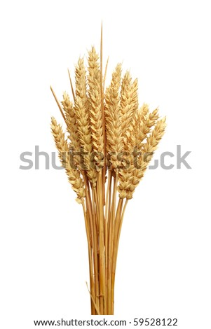 Close up of golden wheat ears, isolated on the white background. - stock photo