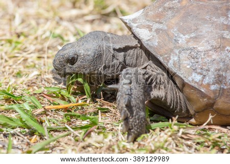 Close-up of Gopher Tortoise grazing on grass.