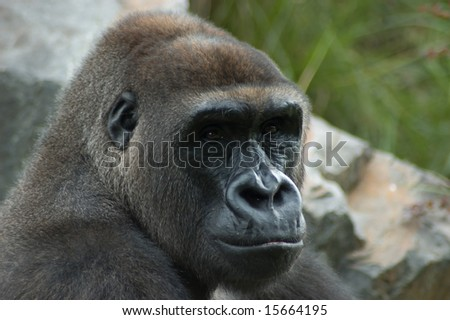 Close up of gorilla in natural environment.