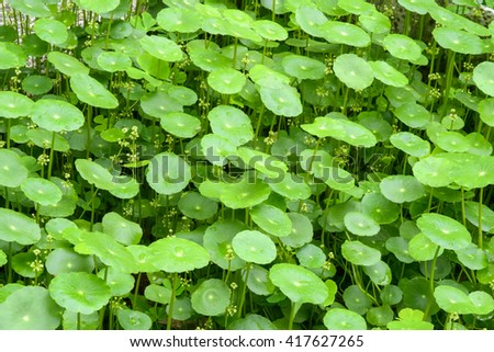 close up of   gotu kola leaves   - stock photo