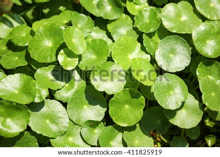 Close up of Gotu kola tree or Asiatic pennywort or Indian pennywort