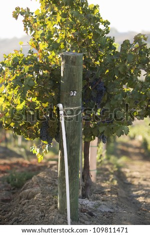 Close-up of grape vine on a wire fence post in vineyards