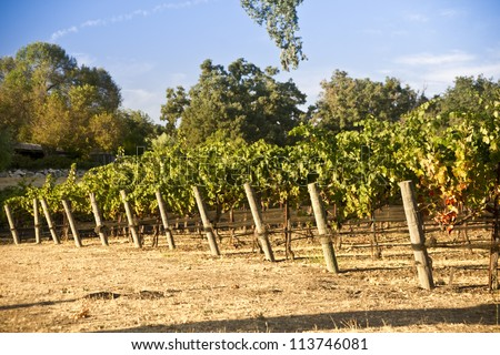 Close up of grape vines in a California vineyard - stock photo
