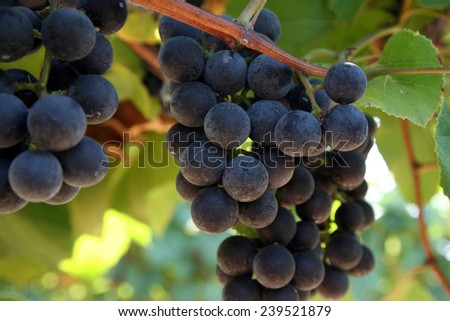 Close-up of grapes in the vineyard with shallow depth of focus. - stock photo