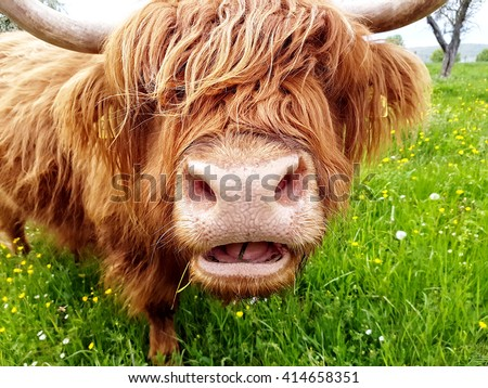 Close up of grass chewing highland cow on a green meadow which tries to look through its head of hair. - stock photo
