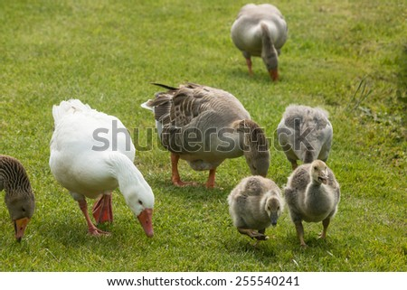 close up of grazing geese with goslings - stock photo