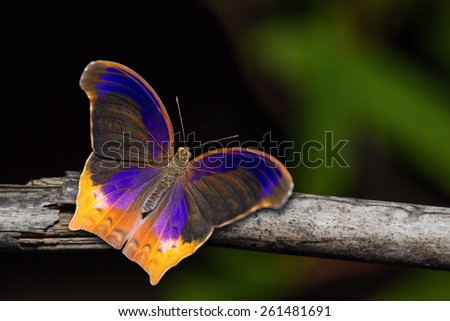 Close up of Great Assyrian (Terinos atlita) butterfly in nature, dorsal view - stock photo