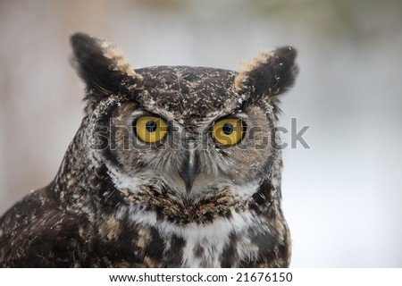 Close-up of Great Horned Barn Owl outside in winter. Flakes of snow on feathers. Vertical format. - stock photo