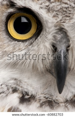 Close-up of Great Horned Owl, Bubo Virginianus Subarcticus - stock photo