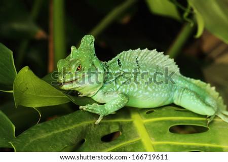 Close up of Green Basilisk Lizard (Basiliscus plumifrons) - stock photo