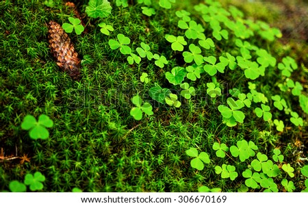 Close-up of green clovers, moss sphagnum, and pine cone - stock photo