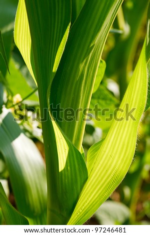Close up of green Corn Leaves - background - stock photo