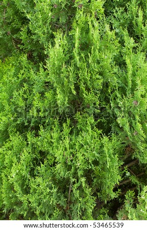 Close Up Of Green Cypress Leaves Background - stock photo
