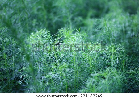 Close up of green dill  - stock photo